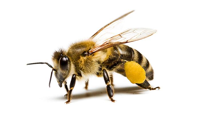 بيولوجيا التكاثر في طفيل الفاروا المدمر في نحل العسل الأفريقي (Apis mellifera) Reproductive biology of Varroa destructor in Africanized honey bees (Apis mellifera)